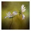 quadro fiori bianchi