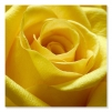 Quadro con rose gialle