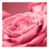 Quadro con rose rosa